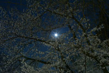 井の頭恩賜公園の満開の夜桜の画像044