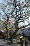神田川の満開の桜の画像014