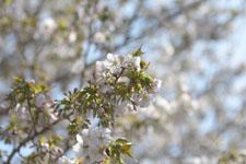 神田川の満開の桜の画像015
