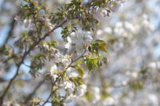 神田川の満開の桜の画像016