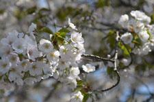 神田川の満開の桜の画像017