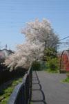 神田川の満開の桜の画像018