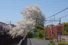 神田川の満開の桜の画像019