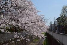 神田川の満開の桜の画像022