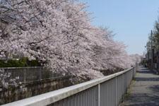 神田川の満開の桜の画像023