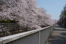 神田川の満開の桜の画像024