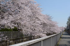 神田川の満開の桜の画像025
