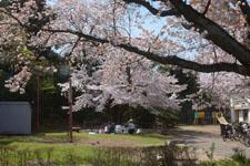 七分咲きの桜と花見をする家族の画像001