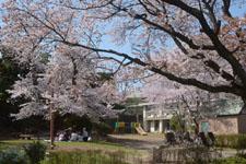 七分咲きの桜と花見をする家族の画像003
