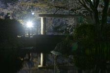 満開の夜桜とゴイサギの画像001