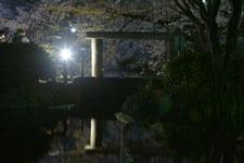 満開の夜桜とゴイサギの画像002