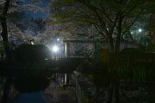 満開の夜桜とゴイサギの画像003
