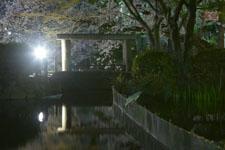 満開の夜桜とゴイサギの画像004