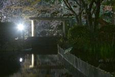 満開の夜桜とゴイサギの画像005