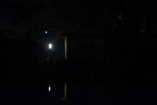 満開の夜桜とゴイサギの画像006