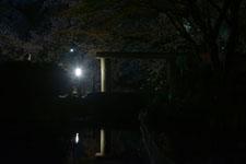 満開の夜桜とゴイサギの画像007