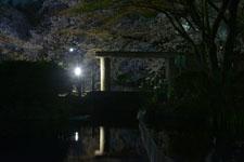 満開の夜桜とゴイサギの画像008
