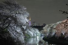 千鳥ヶ淵の満開の夜桜の画像020