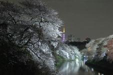 千鳥ヶ淵の満開の夜桜の画像022