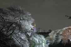 千鳥ヶ淵の満開の夜桜の画像023