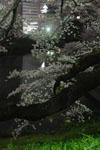 千鳥ヶ淵の満開の夜桜の画像028