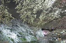 千鳥ヶ淵の満開の夜桜の画像029