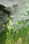 千鳥ヶ淵の満開の夜桜の画像038