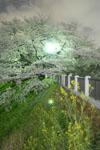 千鳥ヶ淵の満開の夜桜の画像039