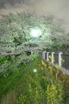 千鳥ヶ淵の満開の夜桜の画像040