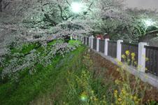 千鳥ヶ淵の満開の夜桜の画像041