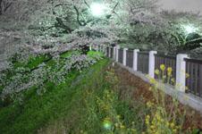 千鳥ヶ淵の満開の夜桜の画像042