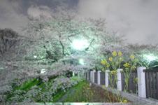 千鳥ヶ淵の満開の夜桜の画像043