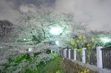 千鳥ヶ淵の満開の夜桜の画像044