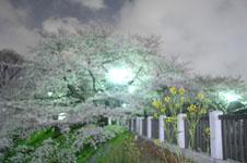 千鳥ヶ淵の満開の夜桜の画像045