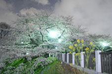千鳥ヶ淵の満開の夜桜の画像046