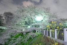 千鳥ヶ淵の満開の夜桜の画像047