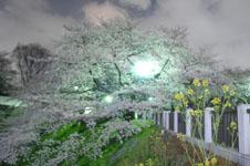 千鳥ヶ淵の満開の夜桜の画像048