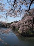 千鳥ヶ淵の満開の桜の画像002