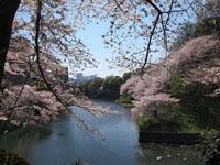 千鳥ヶ淵の満開の桜の画像003