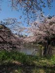千鳥ヶ淵の満開の桜の画像006