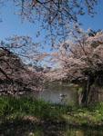 千鳥ヶ淵の満開の桜の画像007