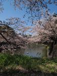 千鳥ヶ淵の満開の桜の画像008
