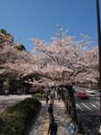 千鳥ヶ淵の満開の桜の画像009