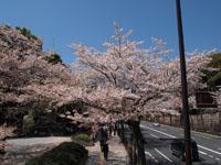 千鳥ヶ淵の満開の桜の画像010