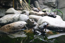 井の頭動物園のヒキガエルの画像001