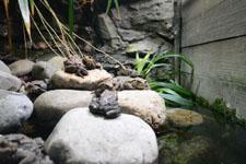 井の頭動物園のヒキガエルの画像002