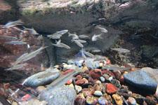 井の頭恩賜公園のオイカワの画像001