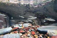 井の頭恩賜公園のオイカワの画像002