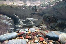 井の頭恩賜公園のオイカワの画像003