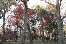 井の頭恩賜公園の紅葉の画像007